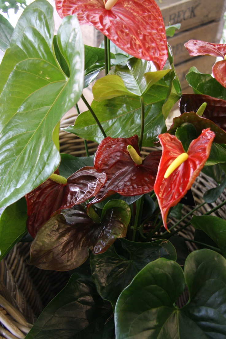 Anthurium Brown giant Flowers I like Pinterest Brown