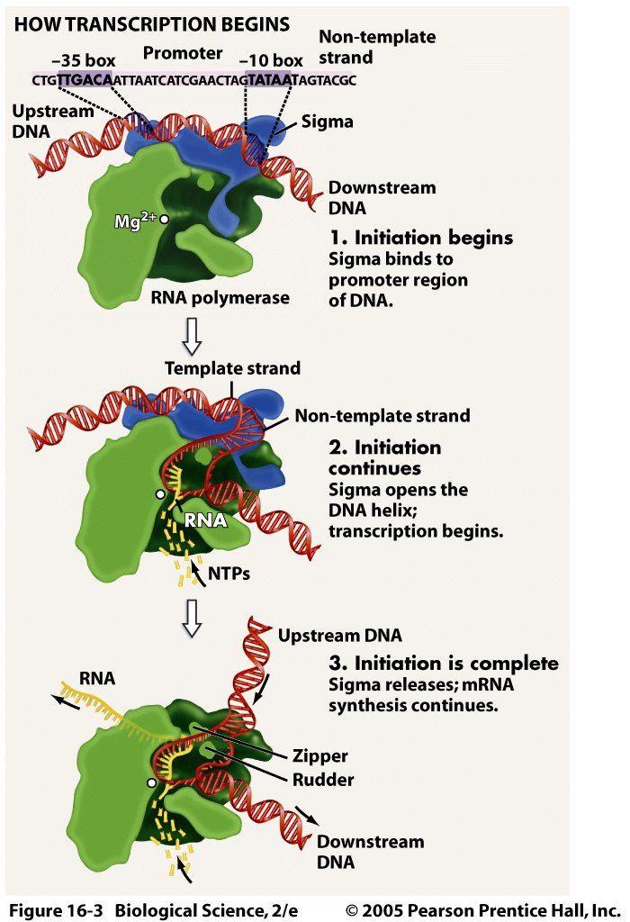 rna polymerase eukaryotes vs prokaryotes Google Search