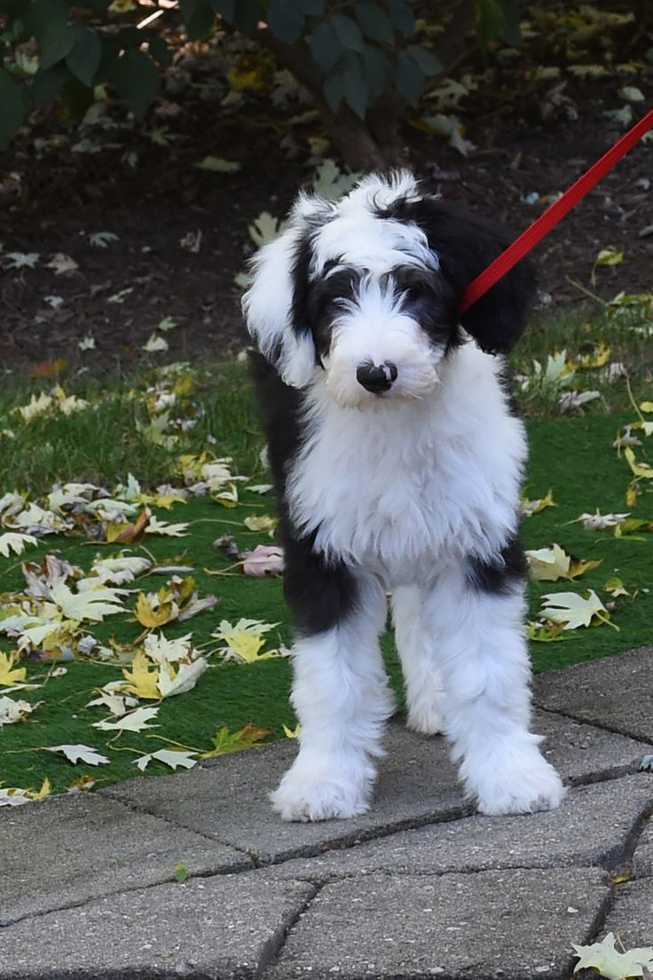 Sheepadoodles Feathers And Fleece My Dogs Pinterest