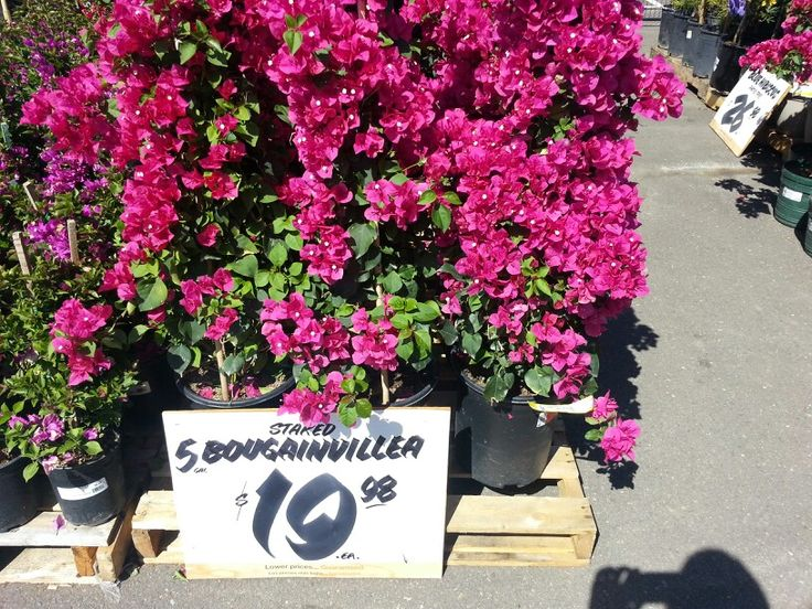 Bougainvillea At Home Depot Landscaping Pinterest