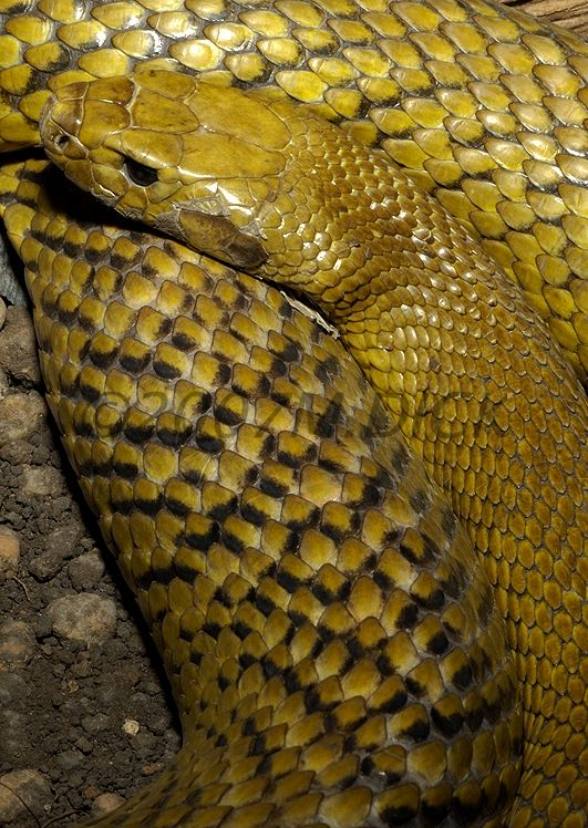 Inland Taipan, most venomous snake in the world, capable