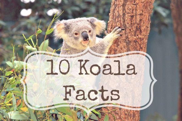 10 Koala Facts Fur Babies And Cat
