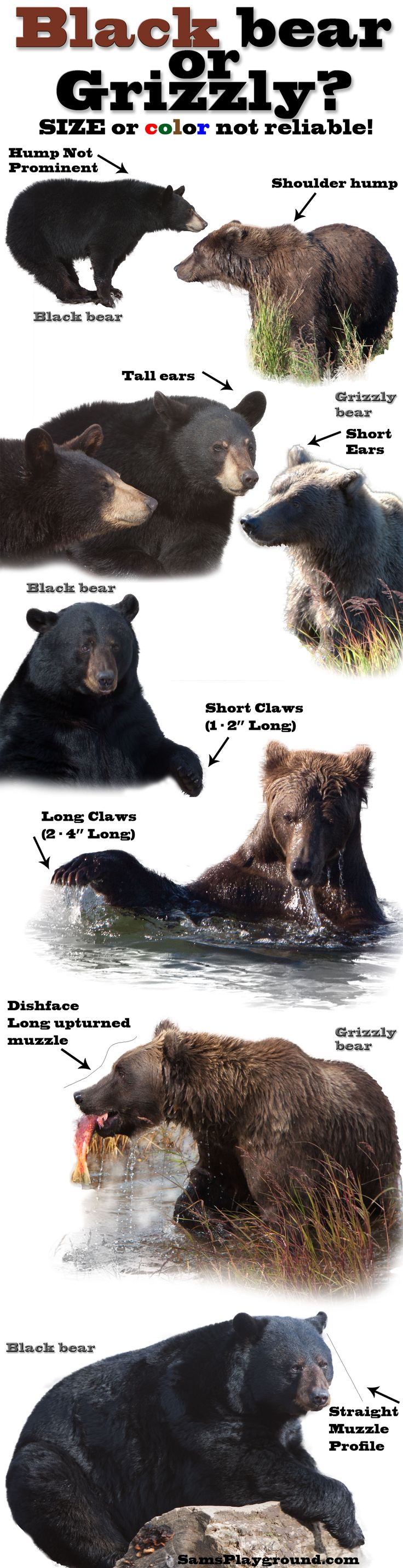 Is it a black bear or a grizzly/brown bear. Don't be