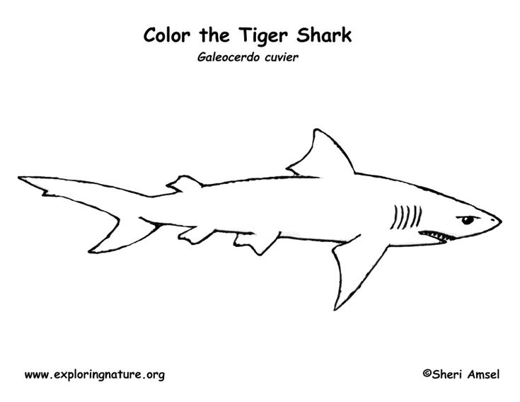 sharks and tigers on pinterest