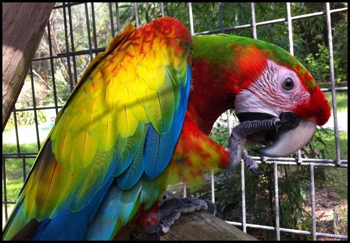 Verdi Macaw Babies For Sale