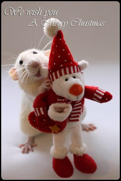 17 Best Images About Rats With Their Teddy Bears On Pinterest What Is This Guinea Pigs And A Rat