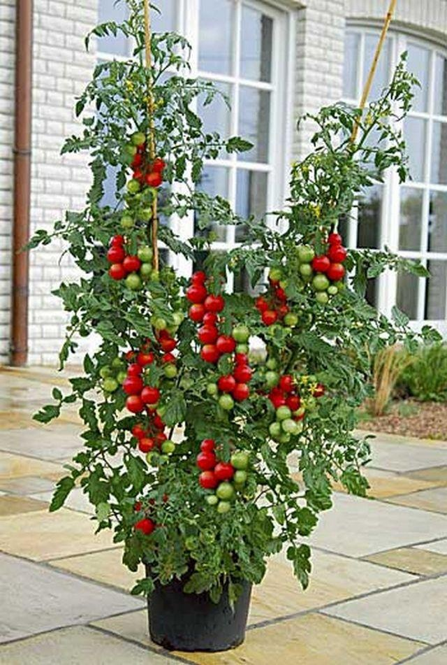 Container grown Cherry tomatoes... gardening Pinterest