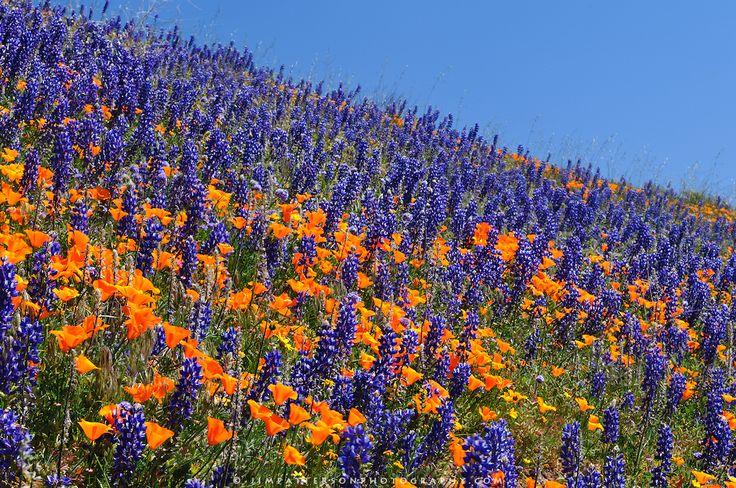 California poppies and purple lupine, Rancho Tejon