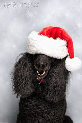1000 Images About For The Love Of Poodles On Pinterest