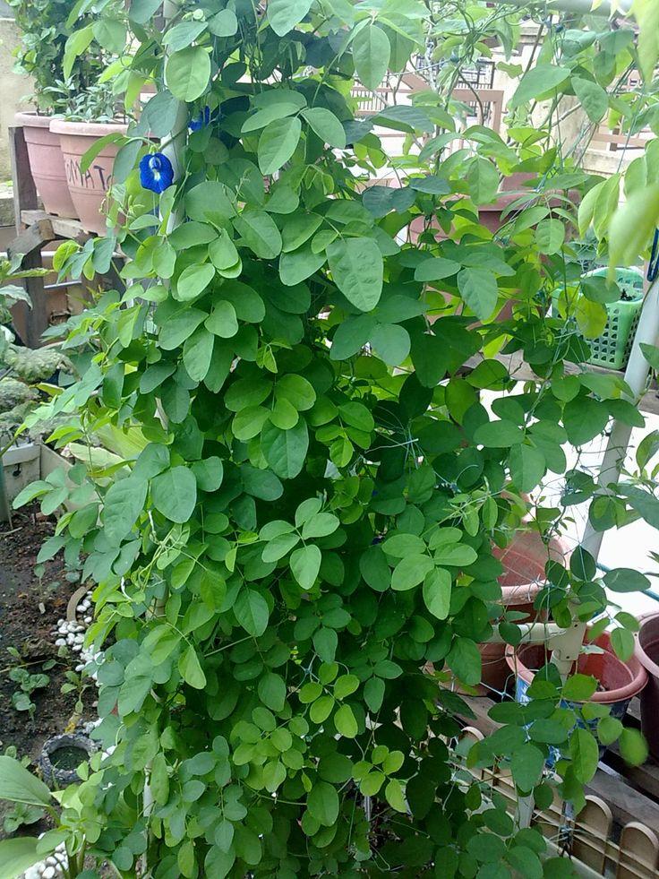 khasiat pokok kacang telang 2 tanaman herba sebagai