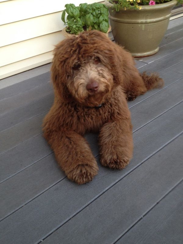 1000 Ideas About Chocolate Labradoodle On Pinterest Labradoodle Puppies Labradoodles And