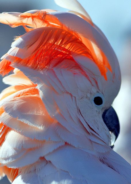 Cockatoo…Great photo!…
