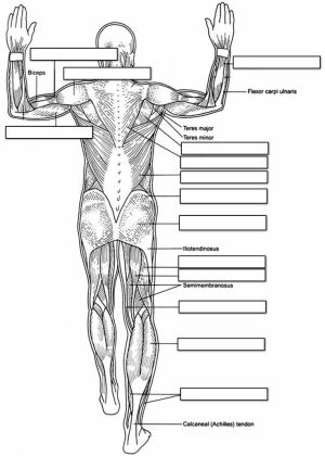 Unlabeled posterior muscle diagram | Muscular System