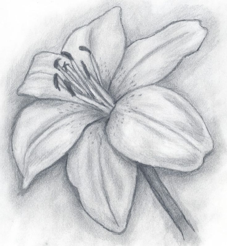Pencil Illustration day lilly lily.jpg Rose's drawing