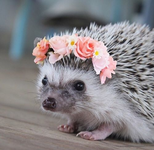 Animals You Should Not Have As Pets - Hedgehogs