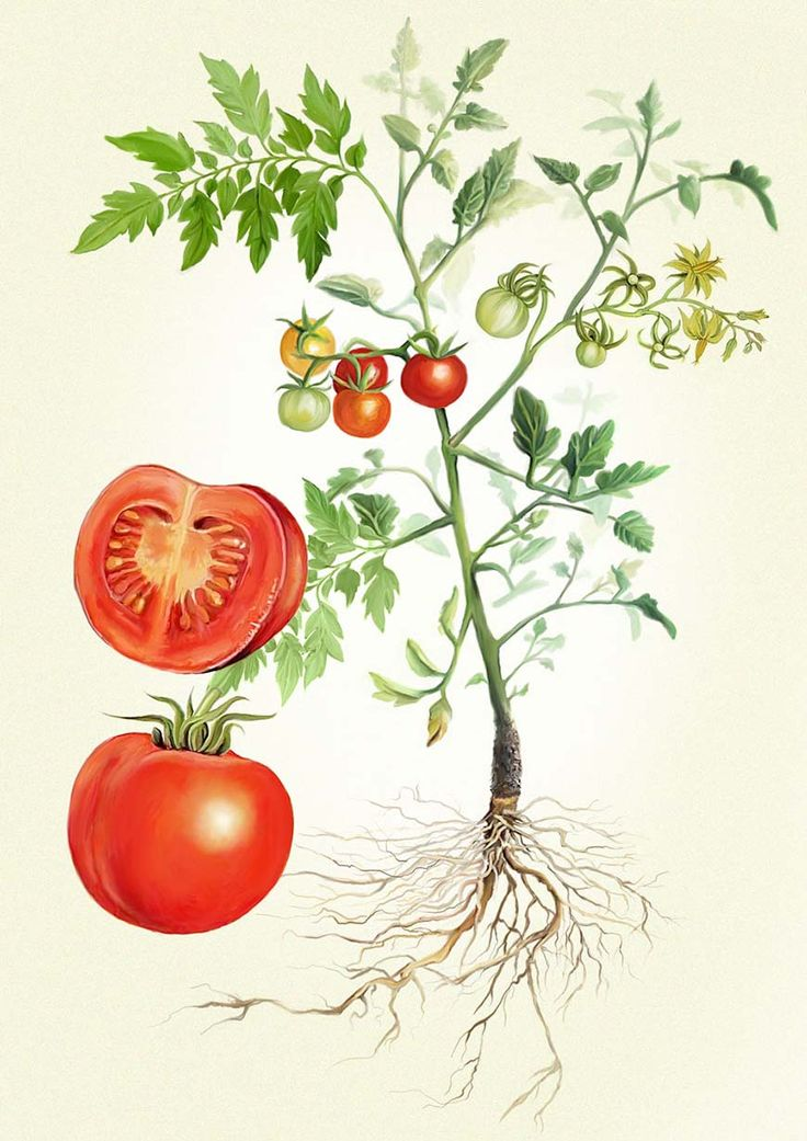Tomato Plant Illustration Adam Dal Pozzo × Creative