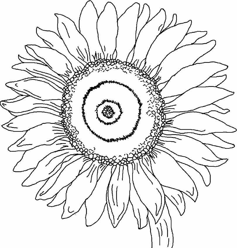 Printable Free Sunflower Flowers Colouring Pages For