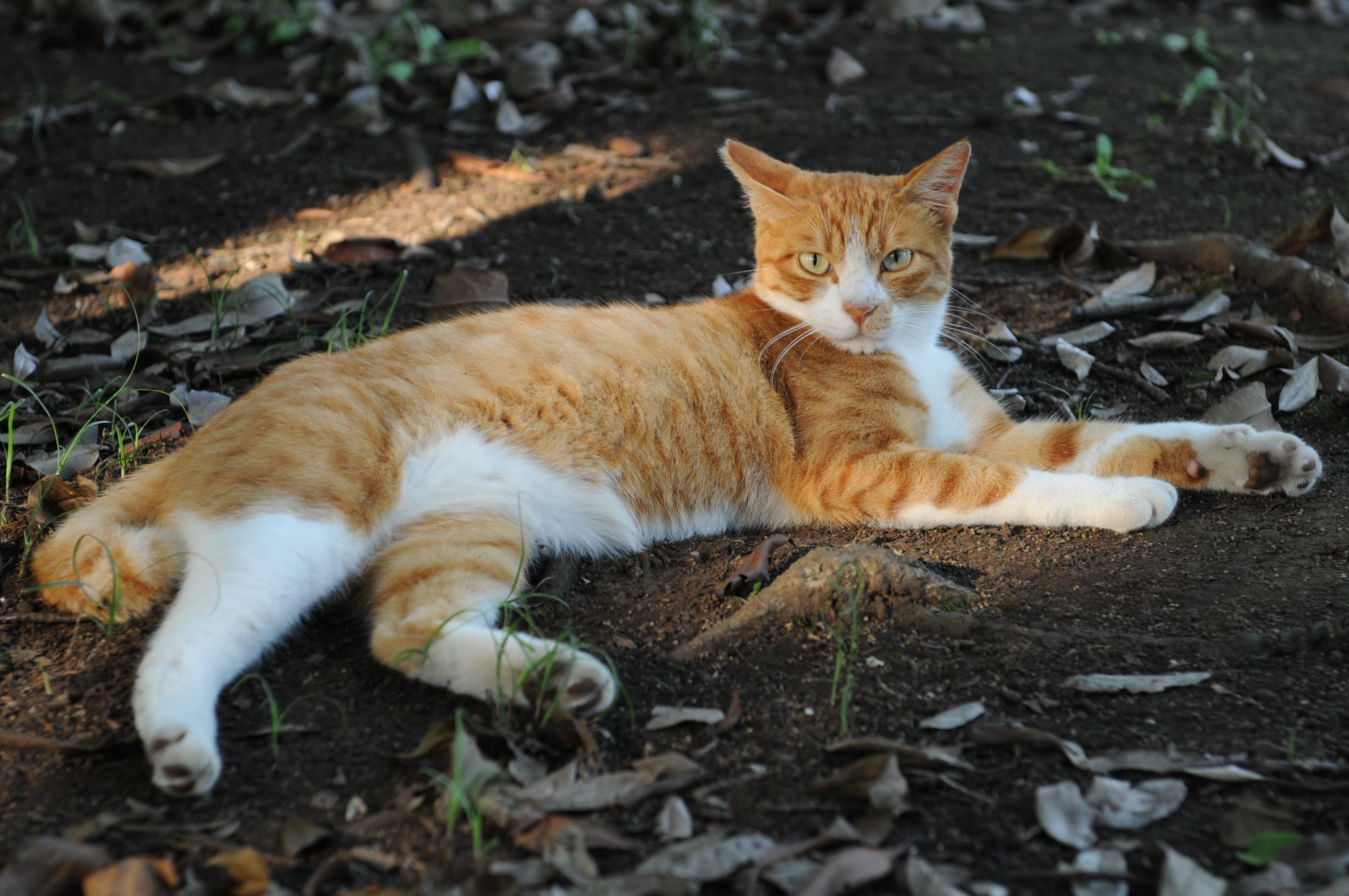 Black and White Tabby Cat Orange hey if you love your