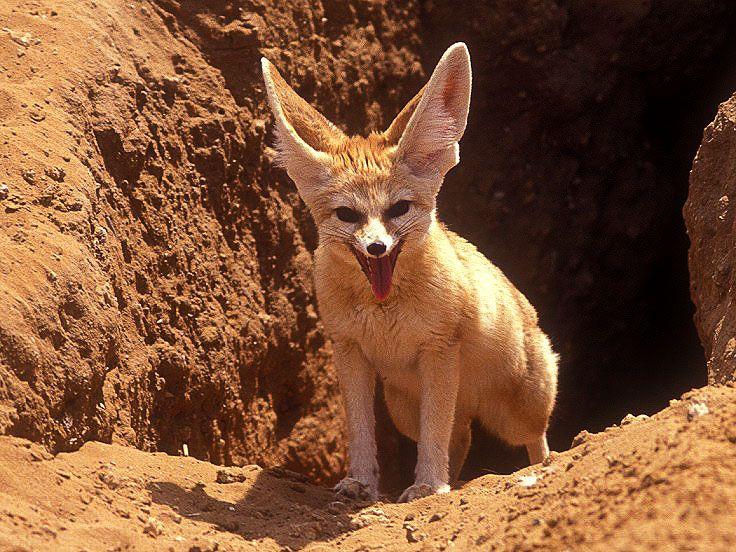 Fennec Fox Animals II Pinterest Fennec fox and Animal