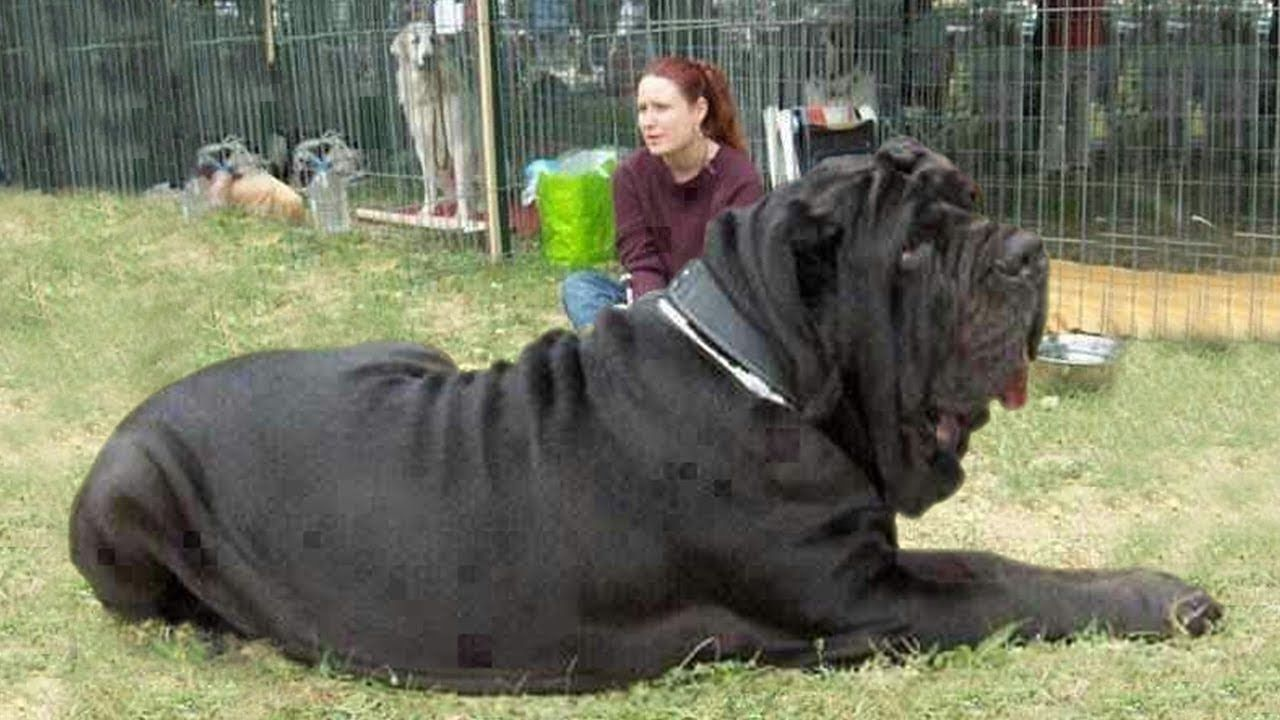 TOP 10 TALLEST DOGS IN THE WORLD Animals Pinterest
