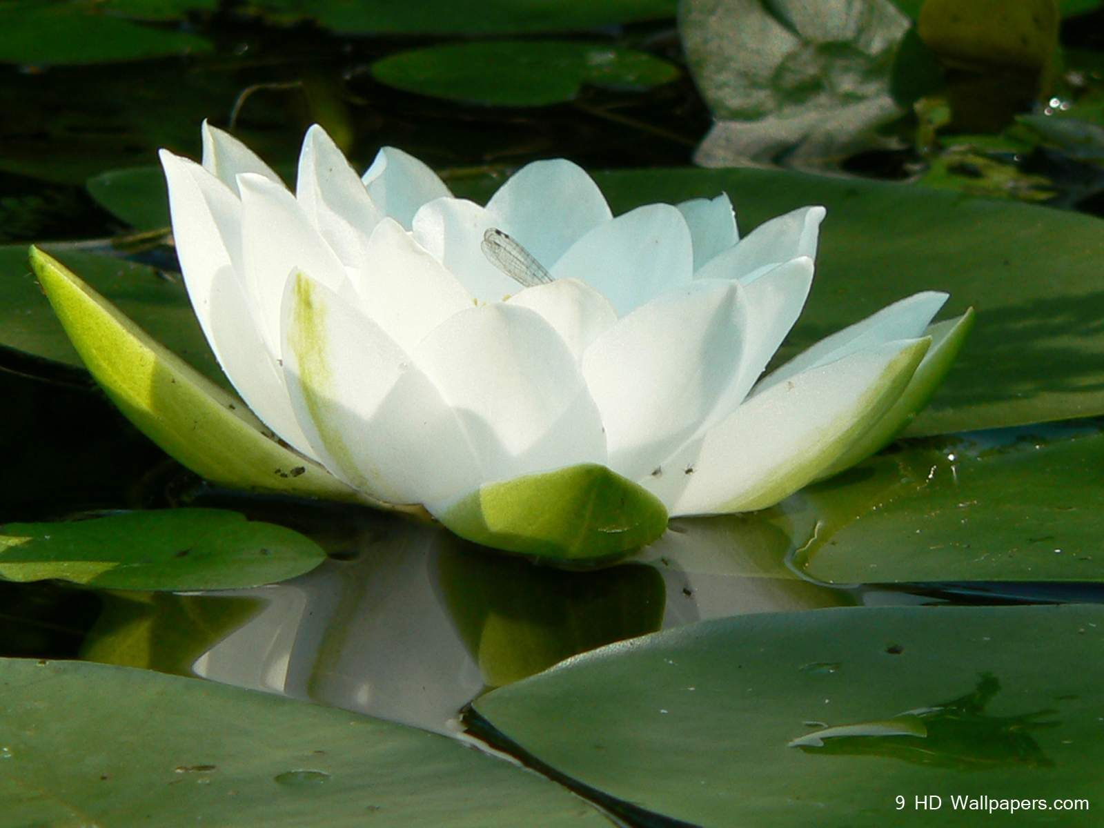 White Lotus Beautiful HD Wallpapers HD Wallpapers