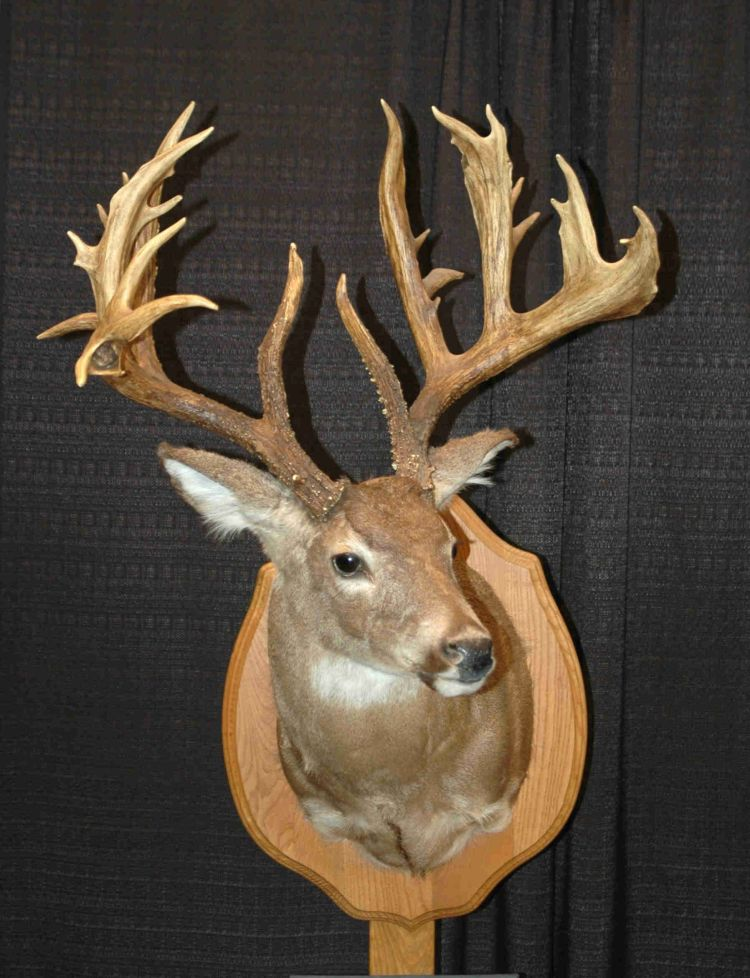 Great nontypical whitetails antlers taxidermy and