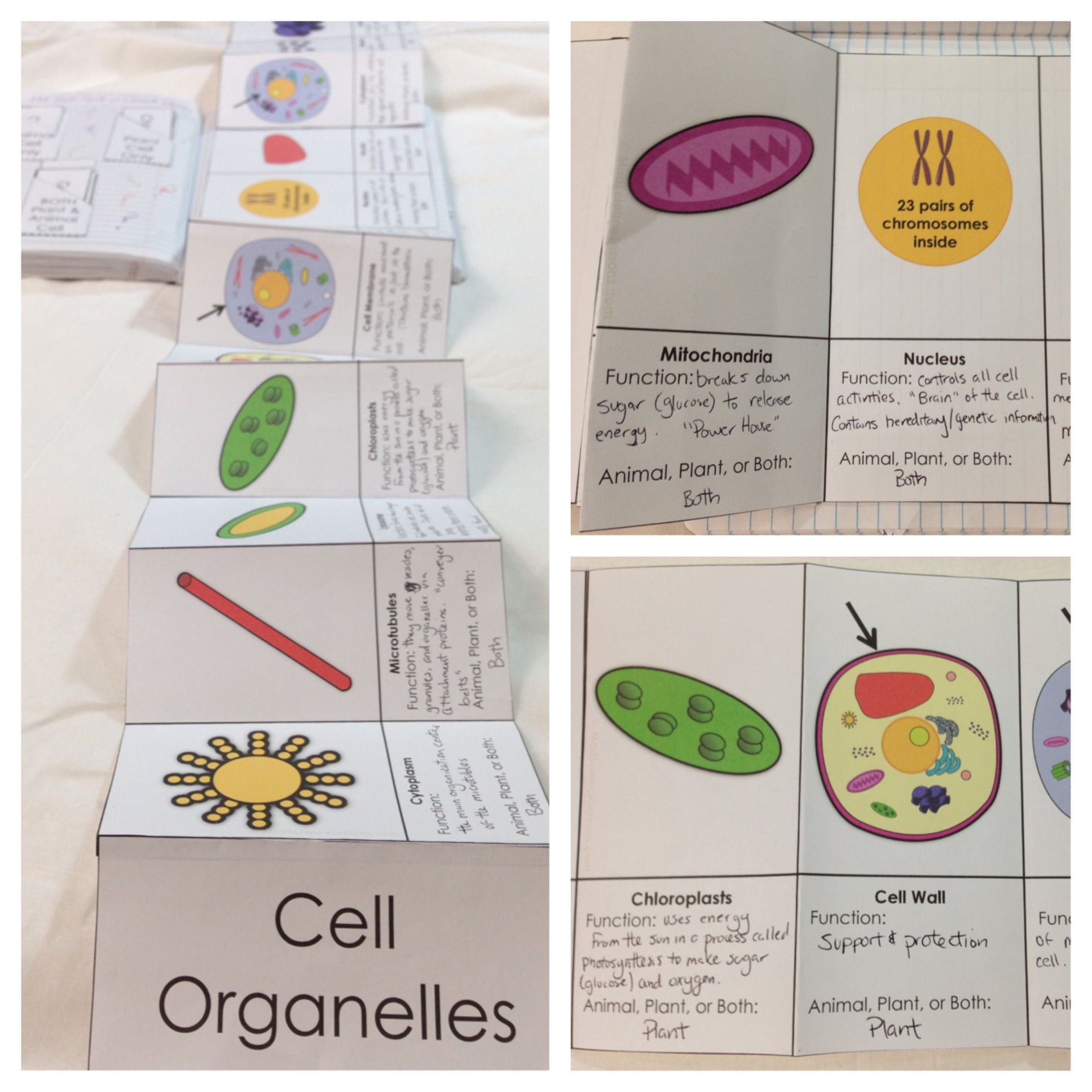 Plant And Animal Cell Organelle Fold Out For Science Journals