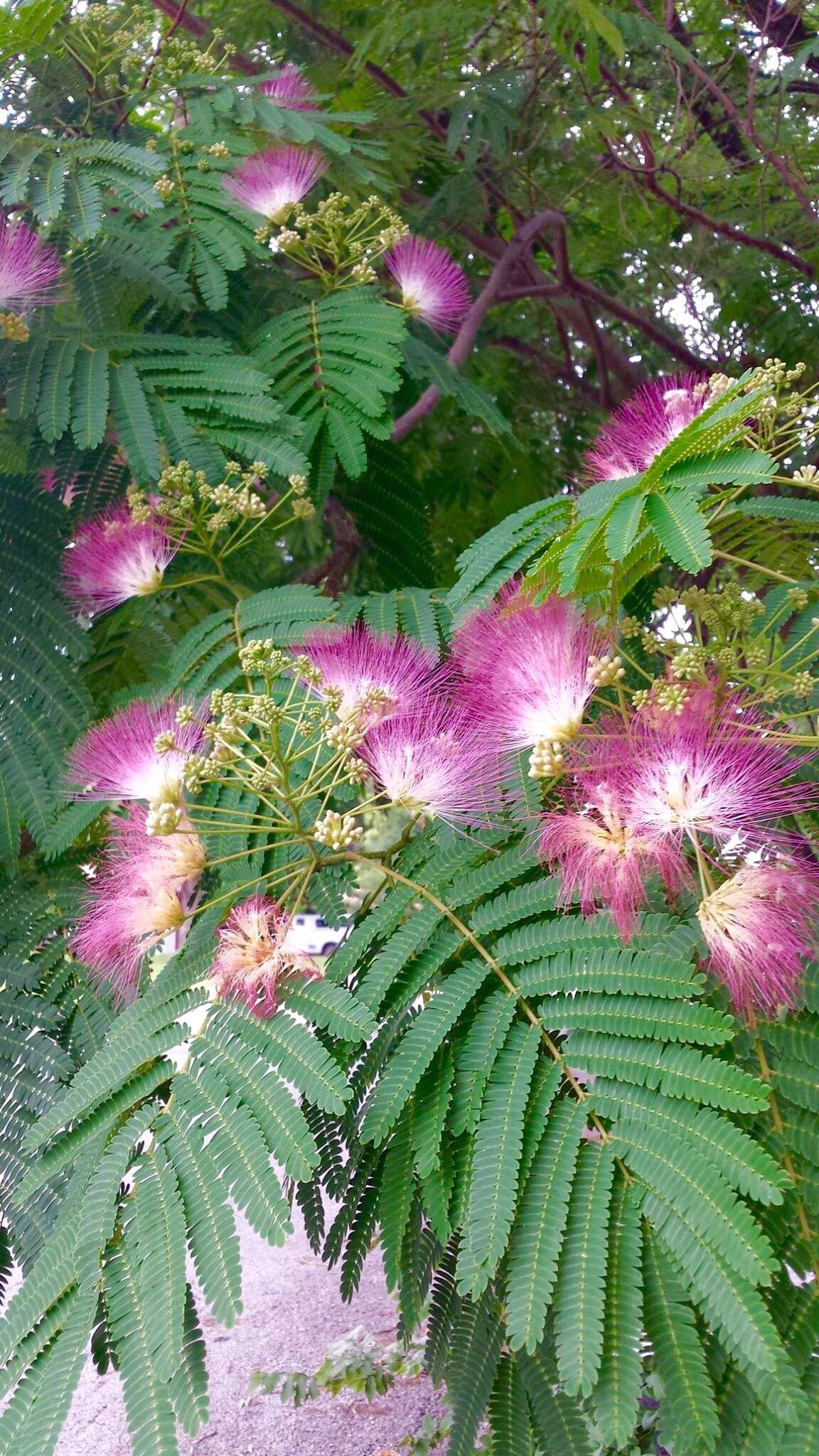 Mimosa Pudica Tree Gardening Pinterest