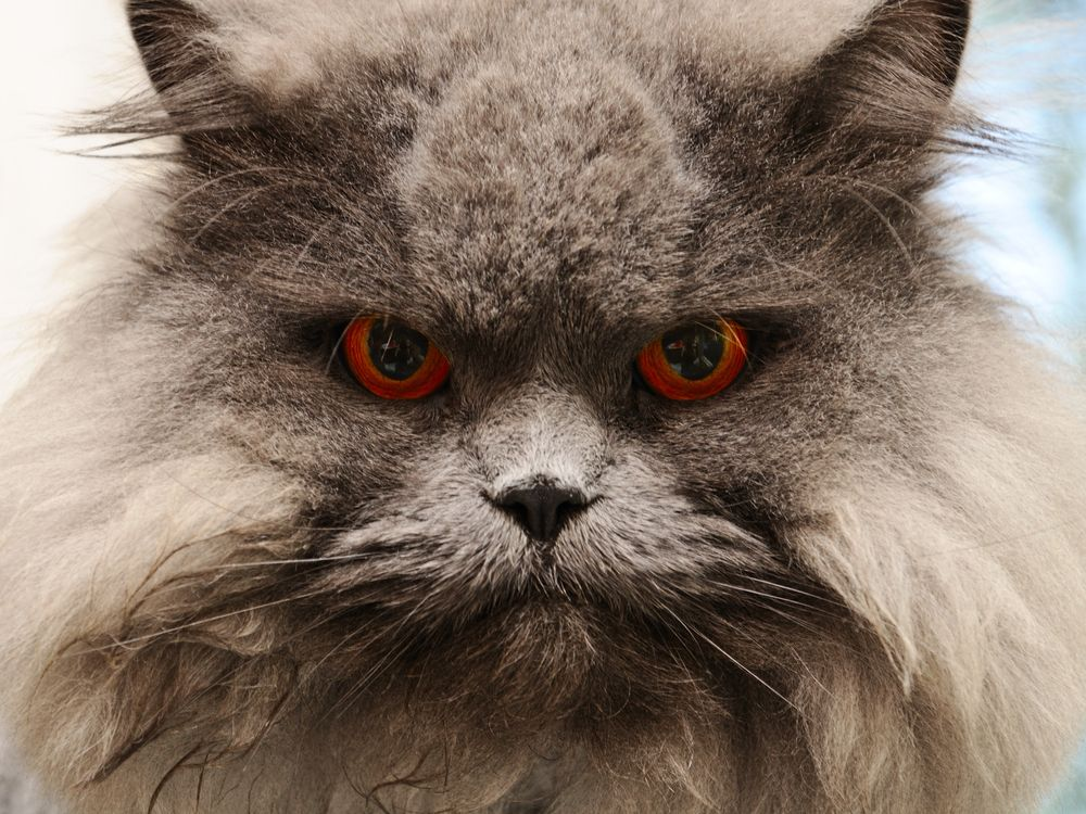 evil looking cats Google Search CATS!!! Great home