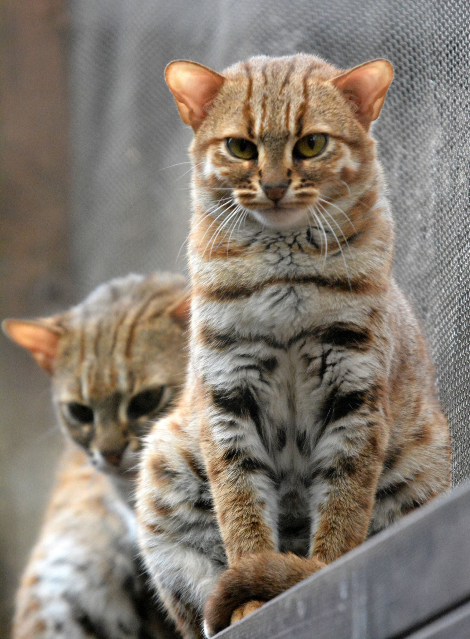 The Rustyspotted Cat (Prionailurus rubiginosus) is the