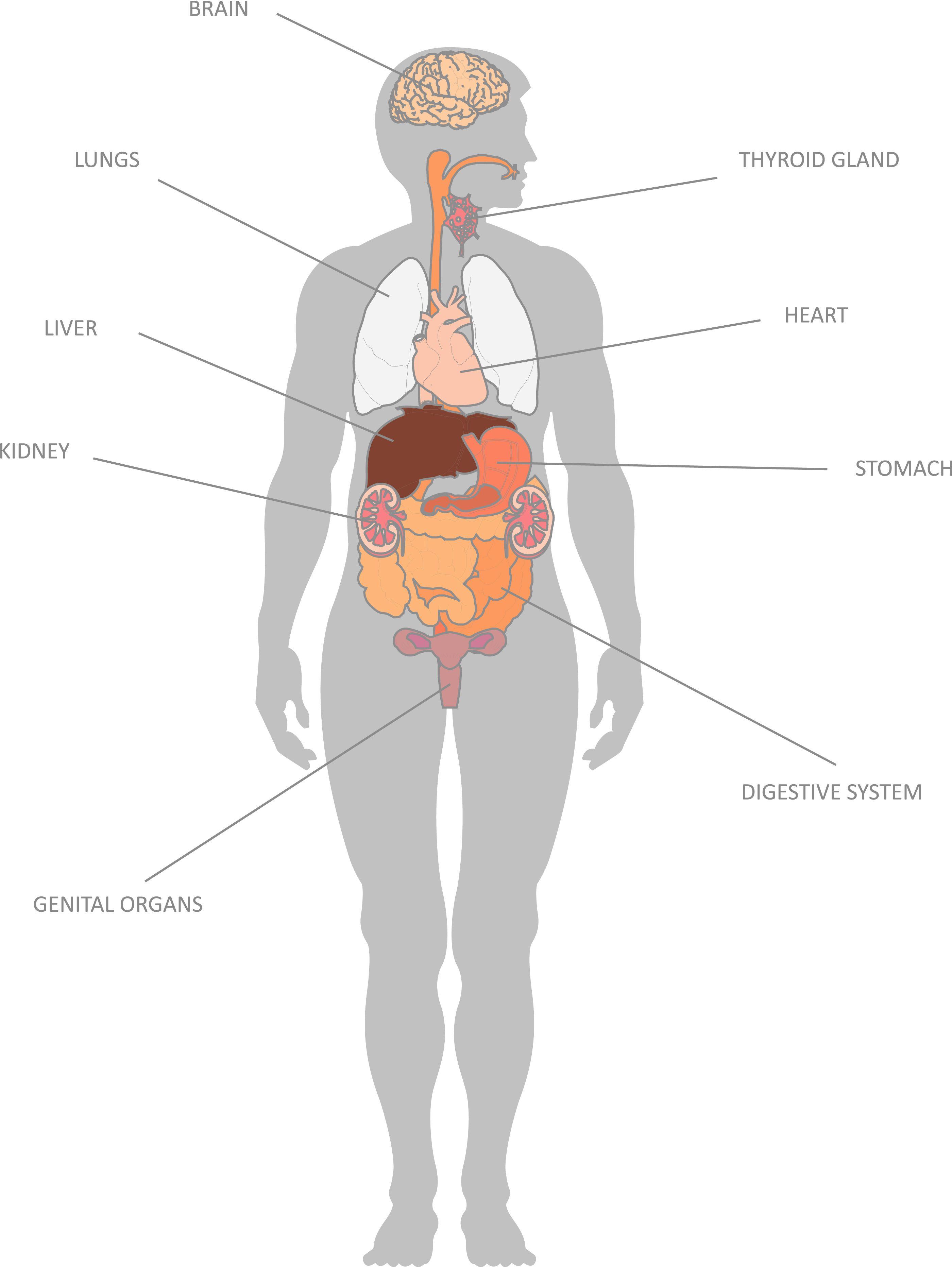 Having Map Of Internal Organs To Understand Human Body