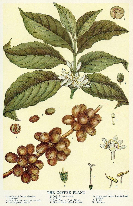 Vintage Coffee Bean Botanical Illustration Art 1910