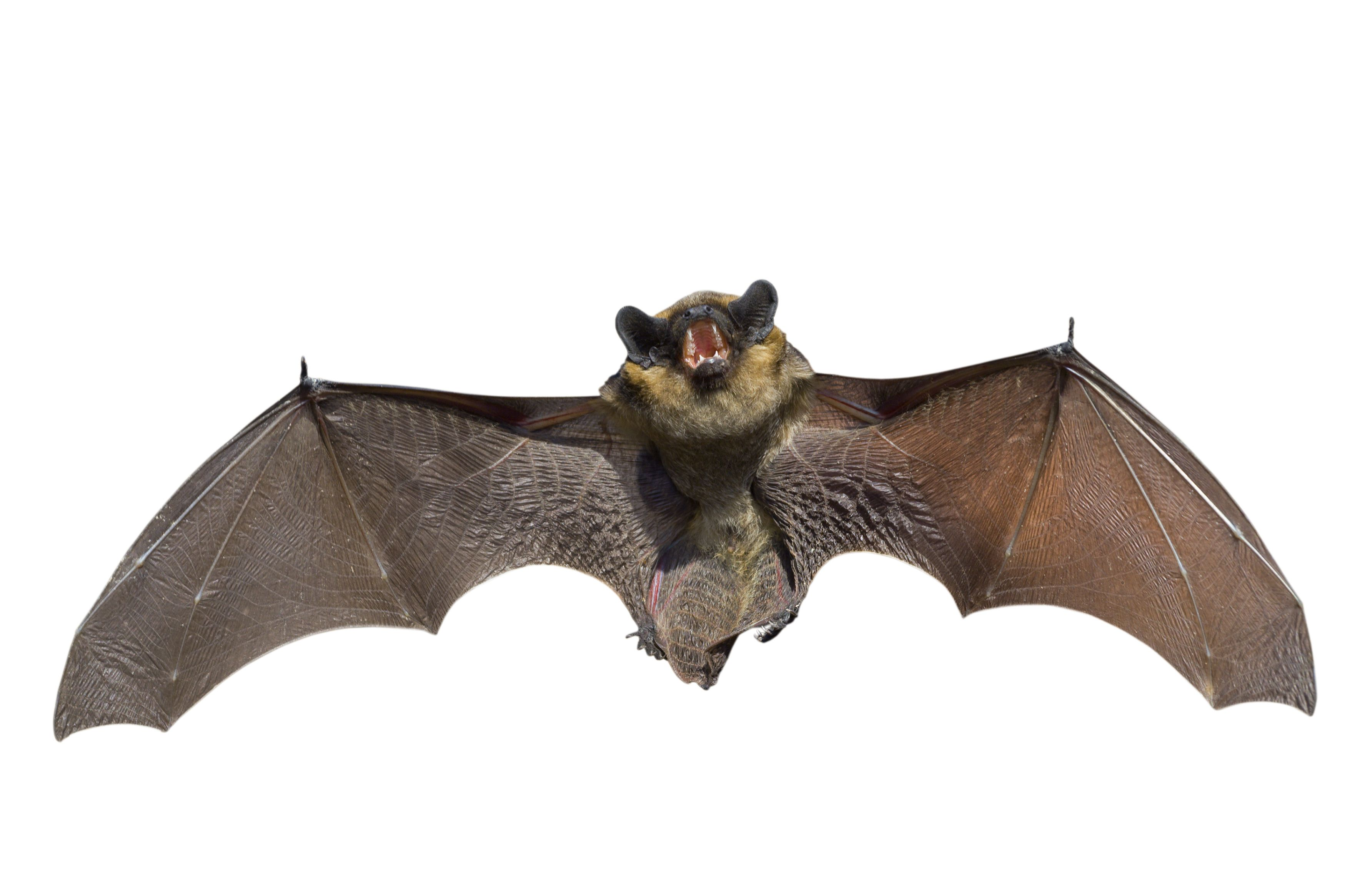 steel bat animal Google Search Bats! Cats! Crows