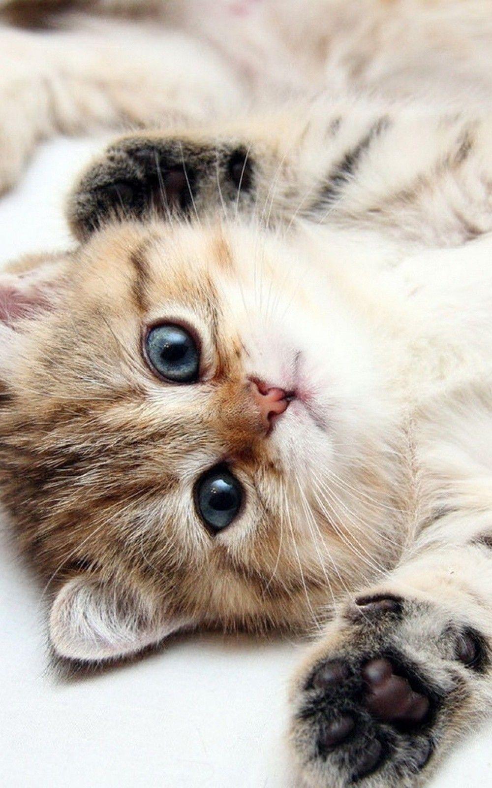 Animals iPhone 6 Plus Wallpapers Cute Kitten Blue Eyes