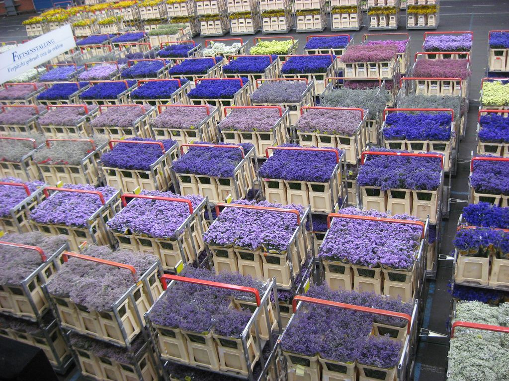 The Aalsmeer Flower Auction House in the Netherlands is