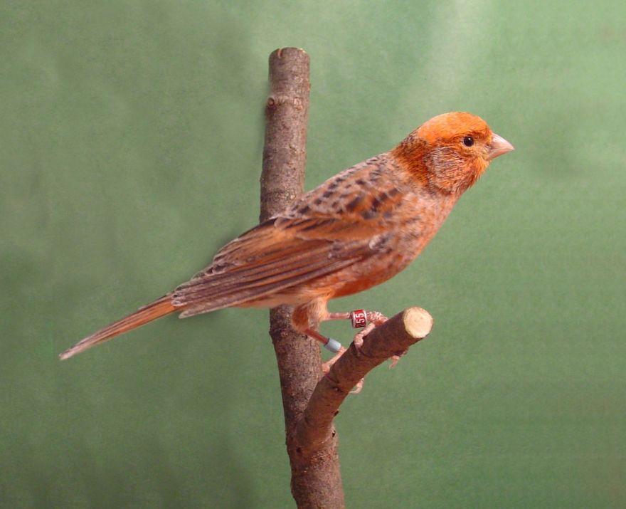 Burung Kenari Lizard (pinterest.com)