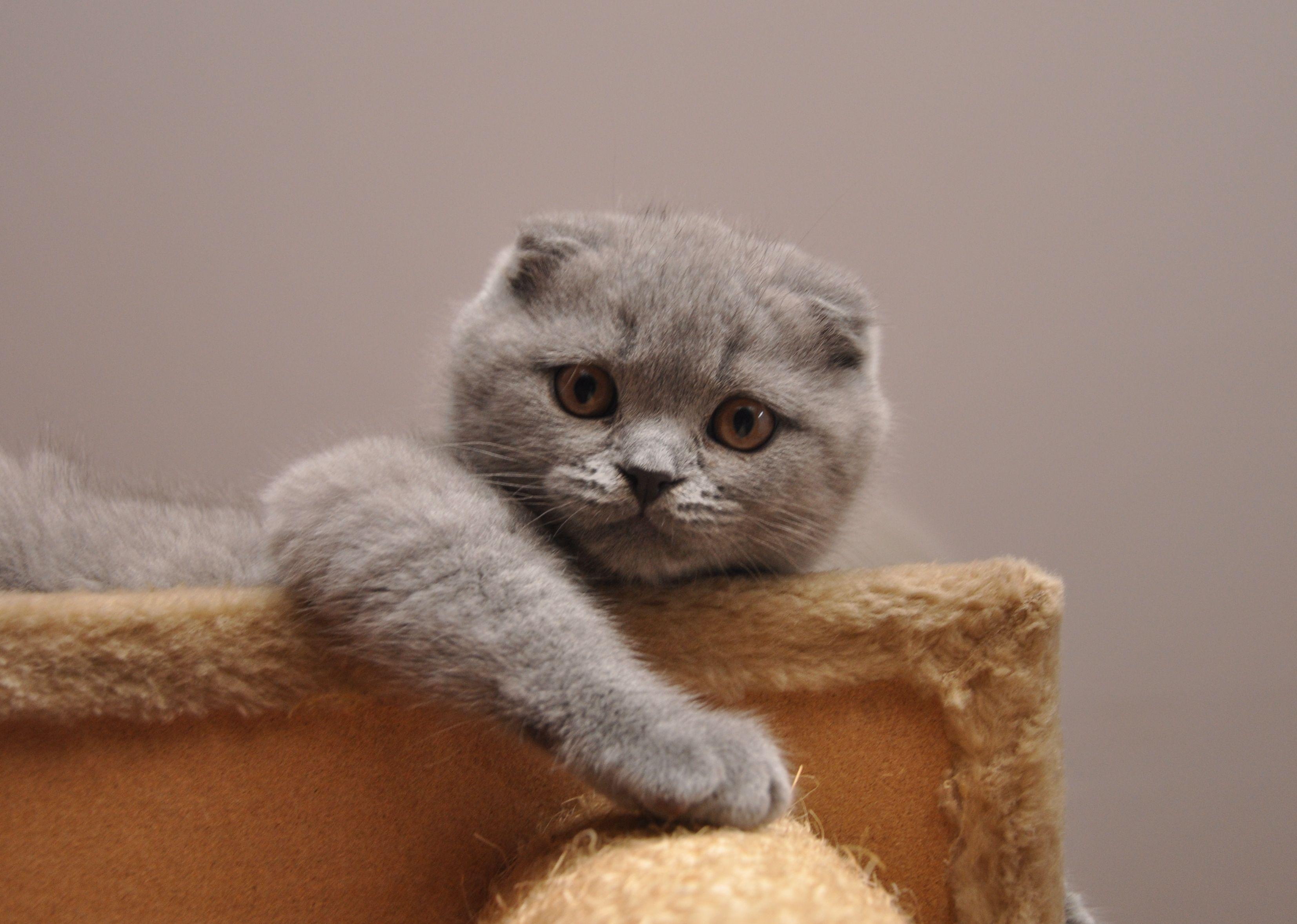 Scottish Fold Cat All about CATS Pinterest Scottish