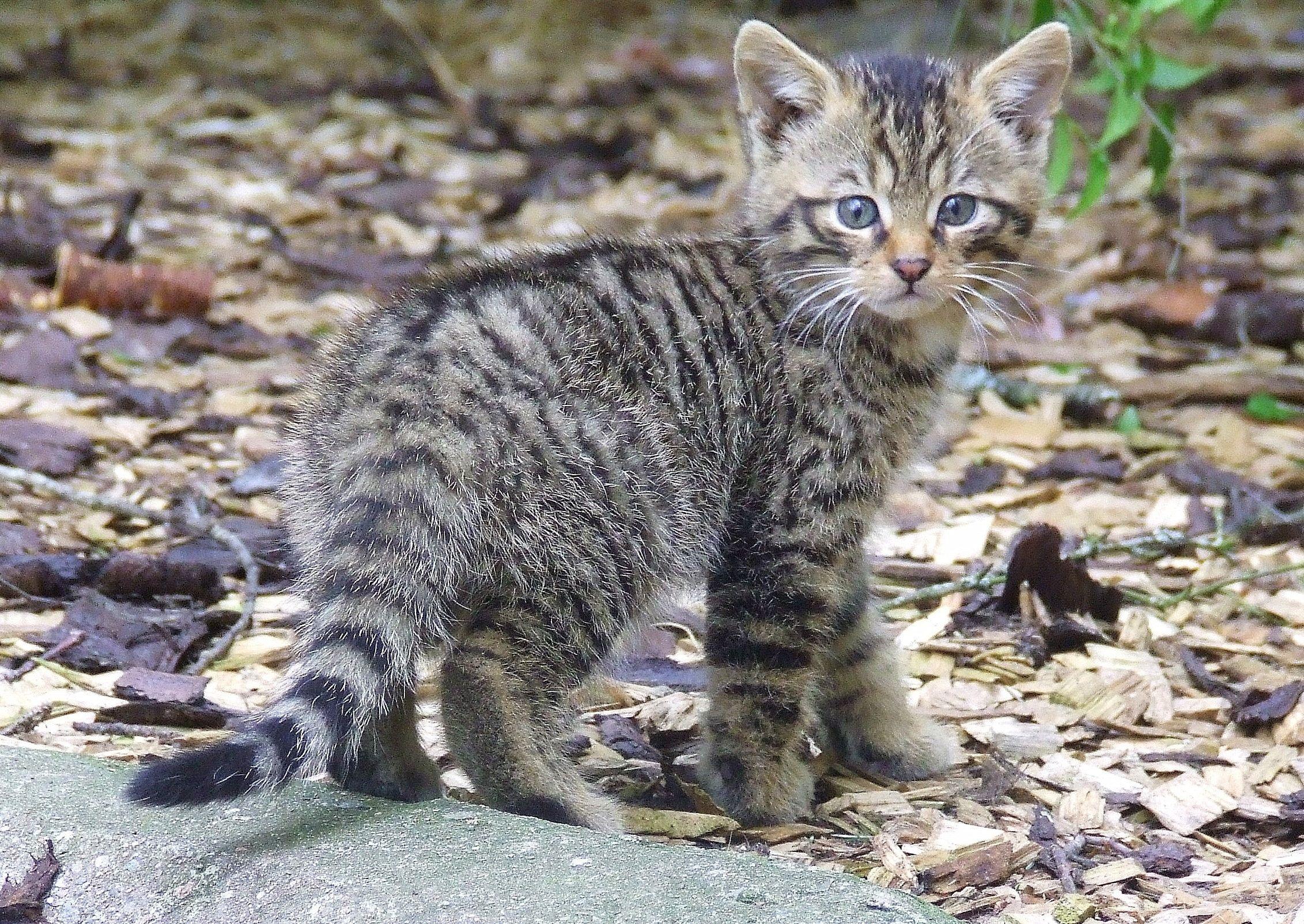 Wildcats, animal maintaining the scottish wildcat
