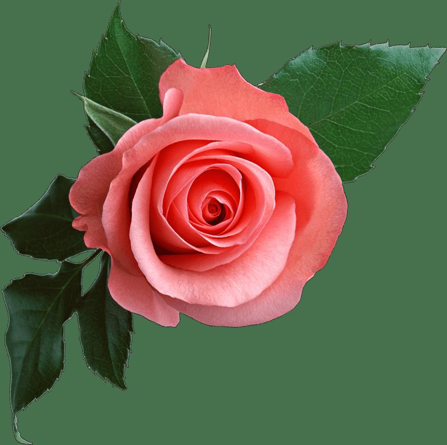 Pink rose png free download Elements Floral, leaves