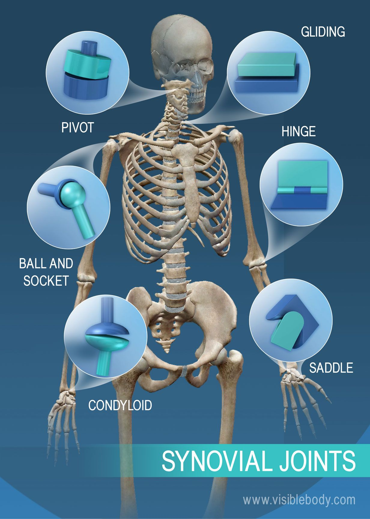 The Range Of Motion In Synovial Joints Pivot Ball And Socket Condyloid Saddle Hinge And