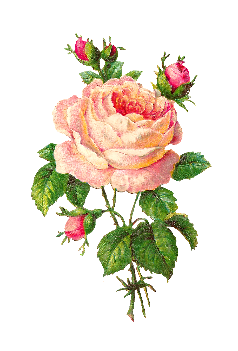 Antique Images Flower Scrapbooking Pink Rose with Buds