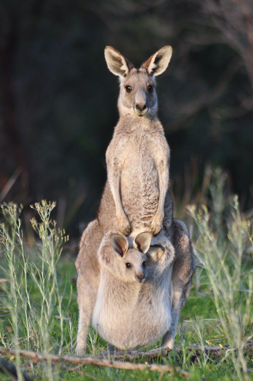 kangaroo pouch Google Search cute Pinterest Kangaroos