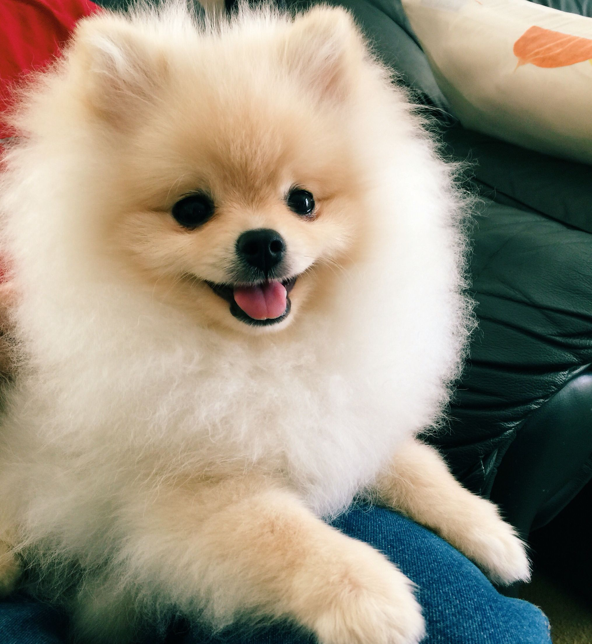Super happy pomeranian puppy! Mochi.pomeranian