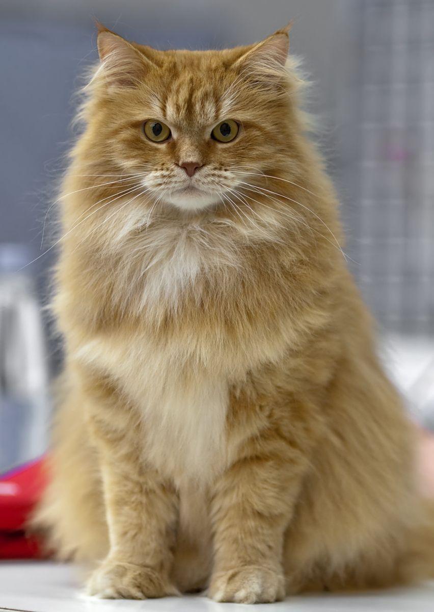Siberian cat. © Heikki Siltala Cats Pinterest