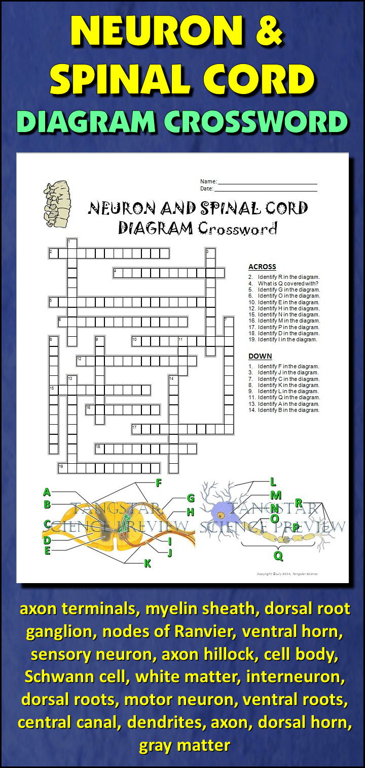 Neuron and Spinal Cord Crossword with Diagram {Editable
