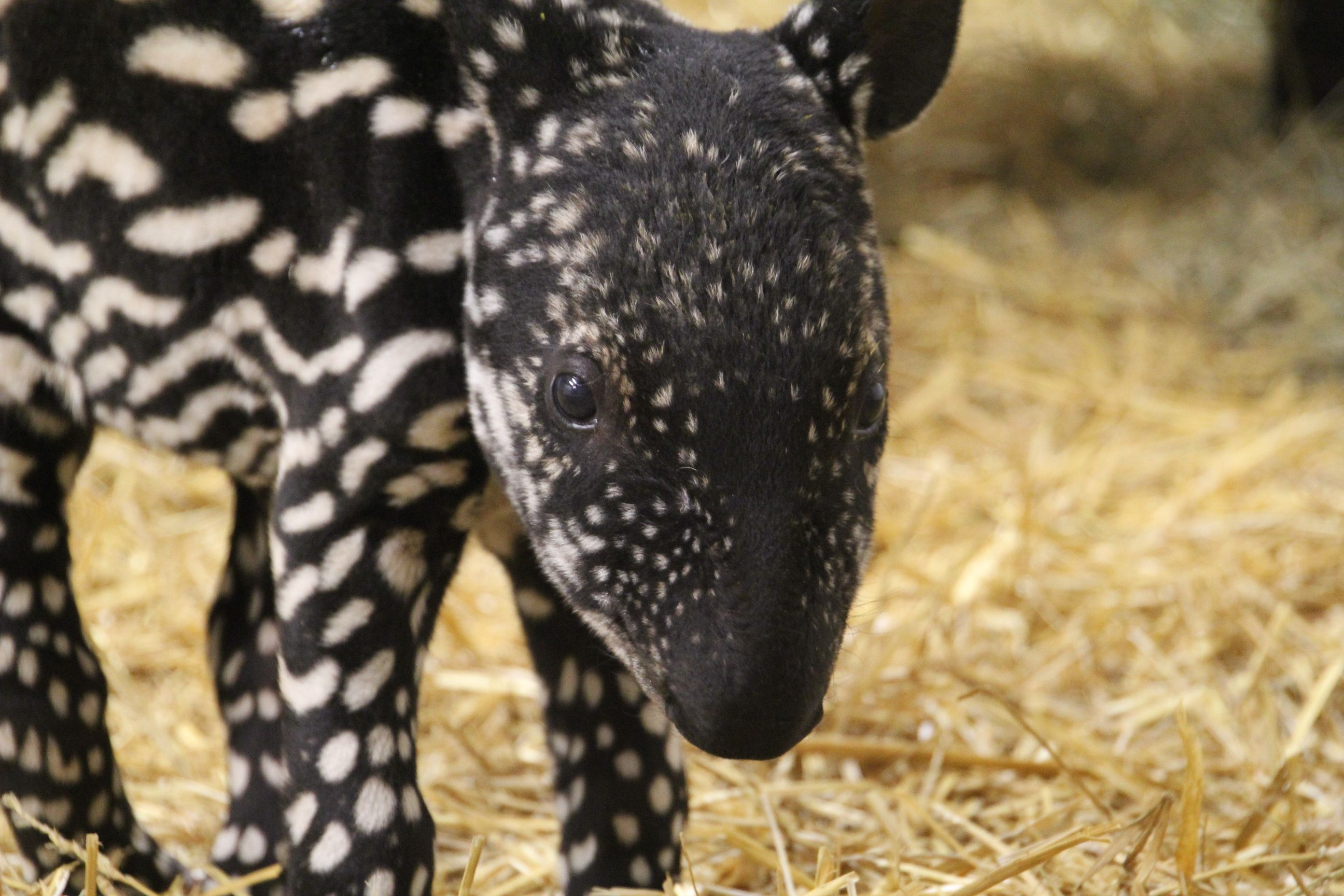 The Malayan tapir is one of the most endangered animals in
