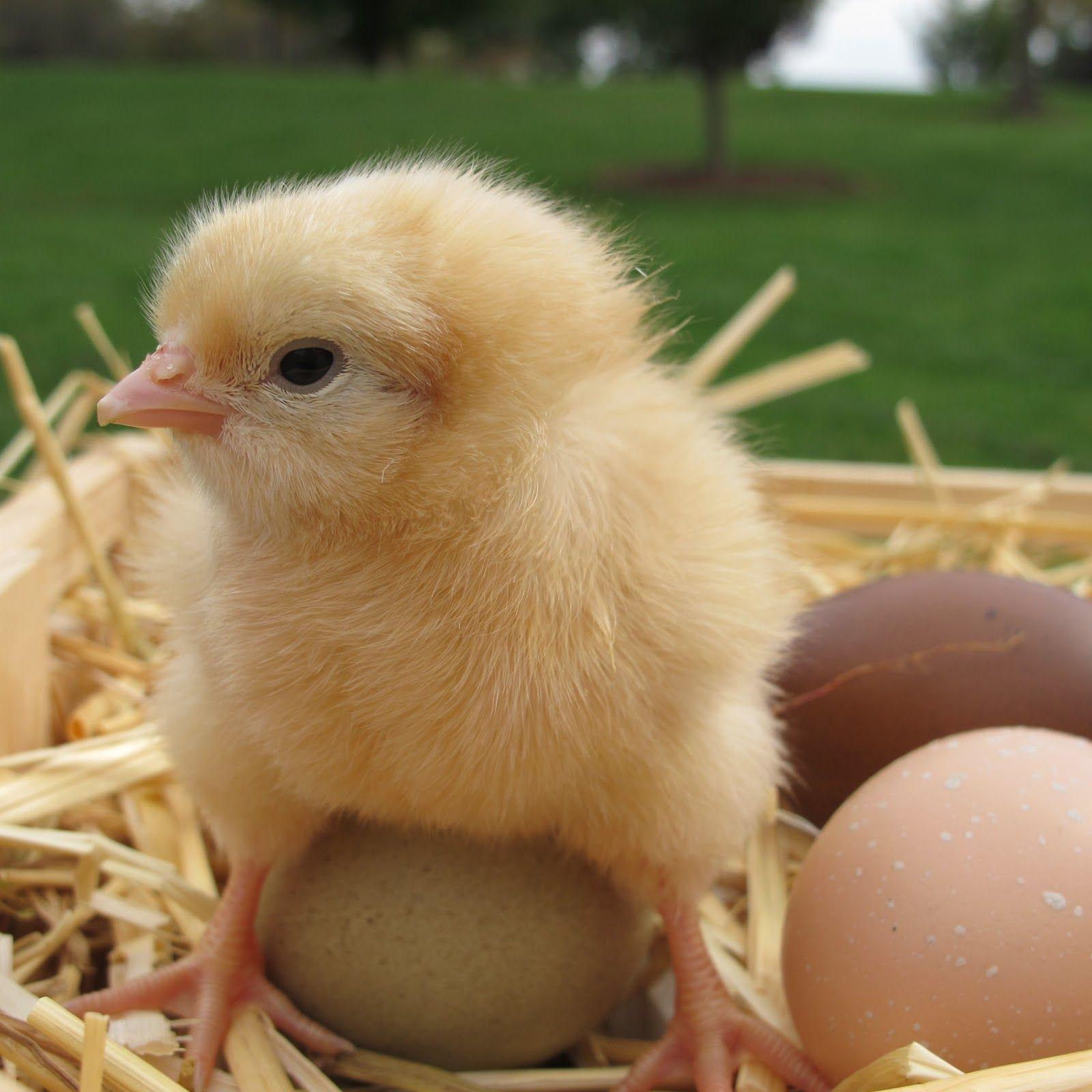 Worksheet Baby Chick