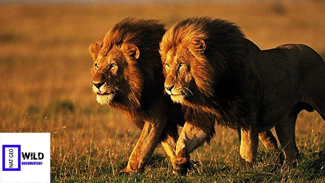 [Nat Geo Wild Documentary] African Lion of the Night