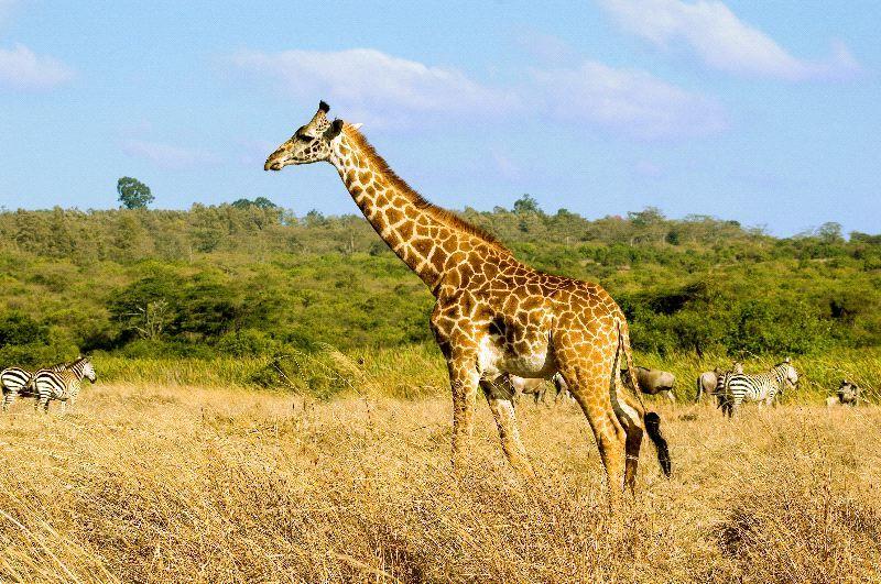 Giraffe In Savanna Biome JIRAFA. Pinterest Giraffes