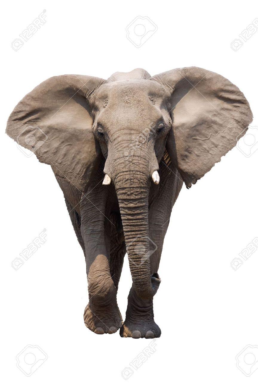 6117622ElefanteafricanoisolatedonwhiteLoxodonta